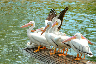 Beautiful white pelicans in Florida