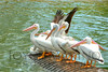 Beautiful white pelicans in Florida - #6858