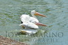 Beautiful white pelicans - #7006