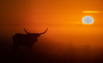 Longhorn at Sunrise