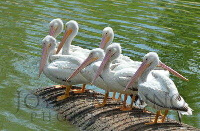 Beautiful white pelicans