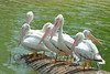 Beautiful white pelicans - #6928
