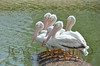 Beautiful white pelicans - #6973
