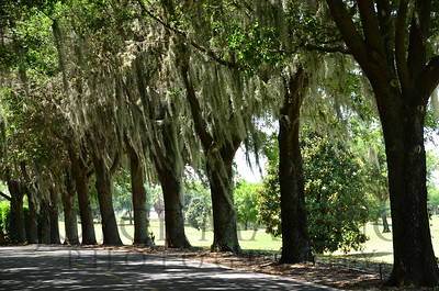 Row of Sphagnum Moss Trees overlooking golf course in The Villages, Florida
