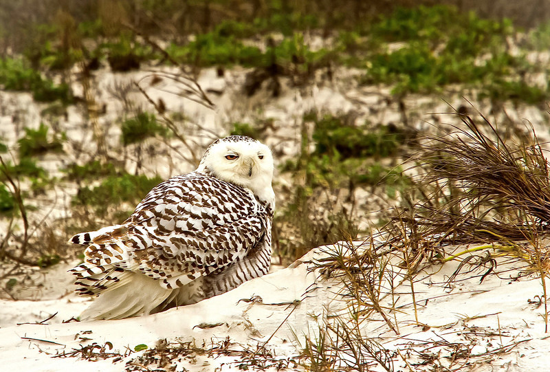 Snowy Owl vacations on the beaches of Amelia Island..third ever reported sighting of a snowy owl in Florida.  She is the most popular bird in Flordia right now.  Taken January 4th, 2014.