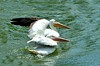 Beautiful white pelicans - #7005