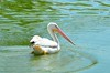 Beautiful white pelicans - #6952