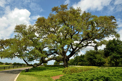 Sphagnum Moss Oak Tree in The Villages, Florida - #7210