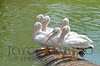 Beautiful white pelicans - #6956