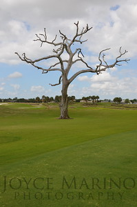Bare naked tree on the Arnold Palmer Golf Course in The Villages, Florida
