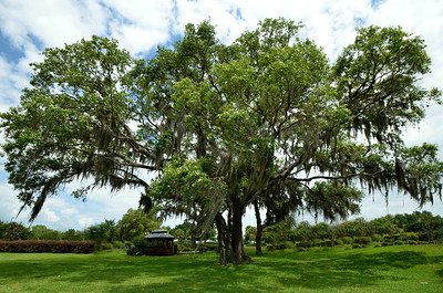 Sphagnum Moss Oak Tree in The Villages, Florida - #7196