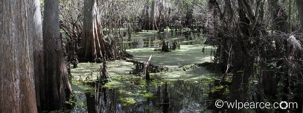 The swamp at Lettuce Lake on the Hillsborough River near Tampa. Get notifications via: