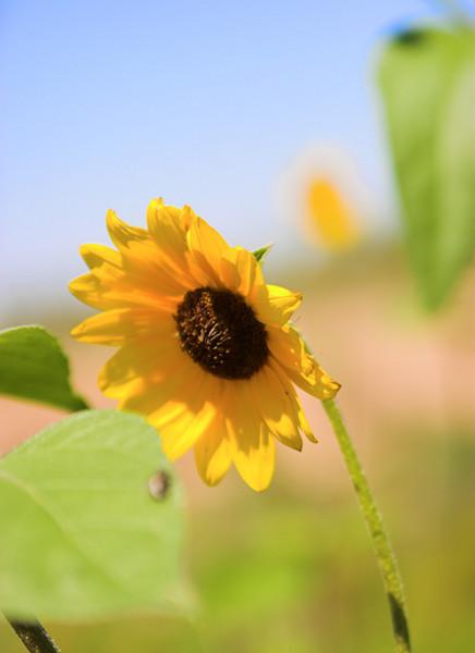 A sunflower on Summer Trail Farm