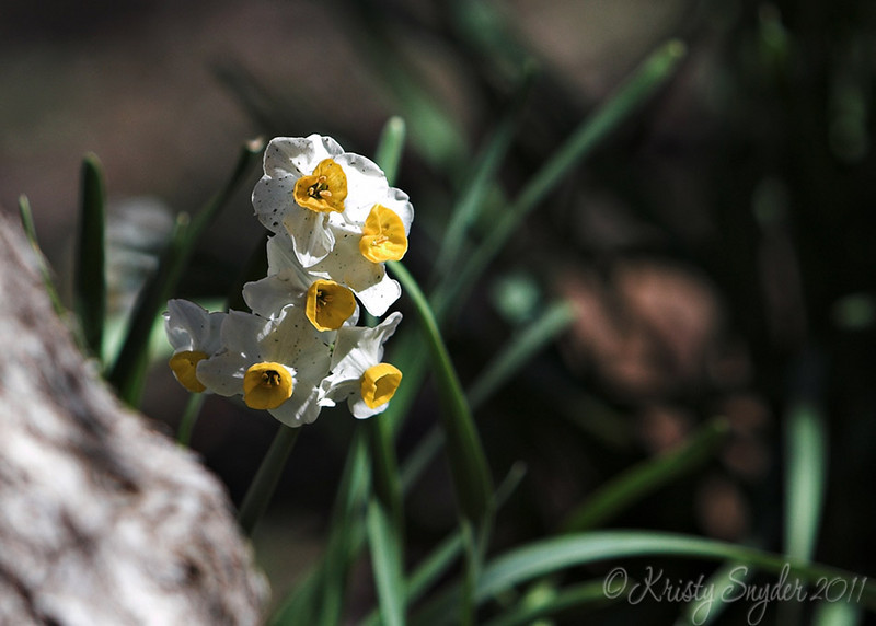 Some Daffodil type of flower growing wild.  I love how nature is beautiful naturally.  :)<br /> These were growing near a shady area at the base of a tree.