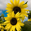 "<h2><i>""Sunflowers""</i></h2><h4>At ""The Farm"", Sturgeon Bay, WI</h4>Still Life Photo of the Day - Digitalimagecafe.com 06/05/11<br/><br/><i><A href=""http://chuck-de-la-rosa.artistwebsites.com/featured/sunflowers-chuck-de-la-rosa.html"" target=""_blank"">Click here to order prints of this photo!</A></i>"