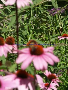 bees pollinating echinecha