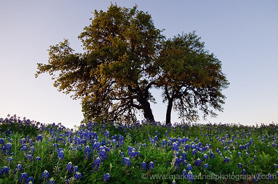 Bluebonnets, Austin, Texas