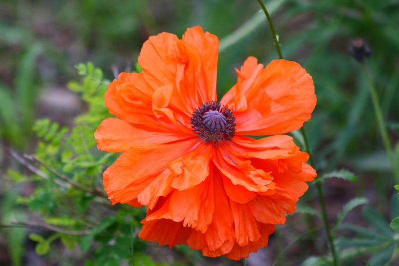 Orange Oriental Poppy in Full Bloom