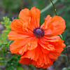 Orange Oriental Poppy in Full Bloom