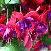 Pink and purple Fuschia Flowers