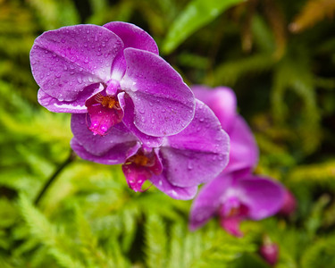Orchids in the Rain, Hawaii Tropical Gardens, Hilo, Hawaii.