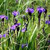 Wild Iris- Potters Marsh
