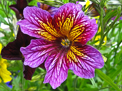 Salpiglossis Sinuata or Painted Tongue