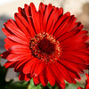 Red Gerbara Daisy