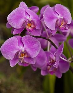 Orchids, Botanical Gardens, Buffalo, NY.