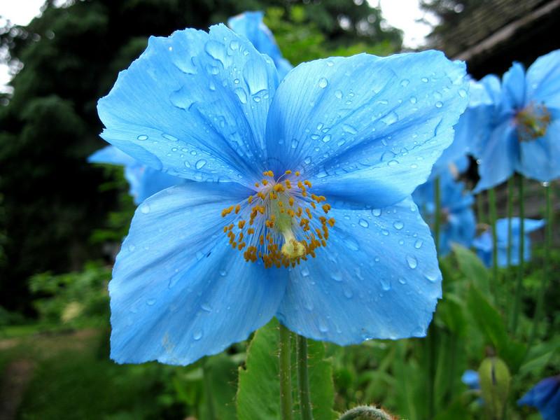 Blue Poppy After Rain