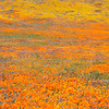 California Poppy Reserve - Base Of A Hill
