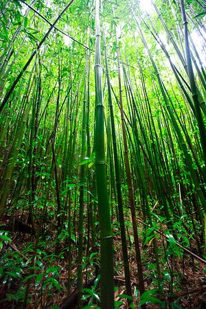 Bamboo Forest II