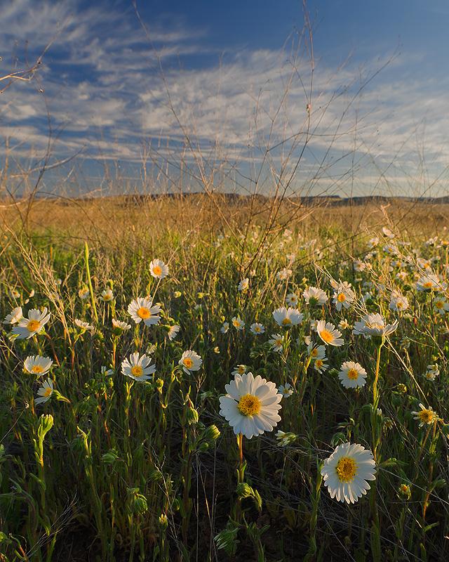 Field of daisies @ Aqua Fria National Monument
