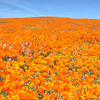 California Poppy Reserve - Hill Of Poppies