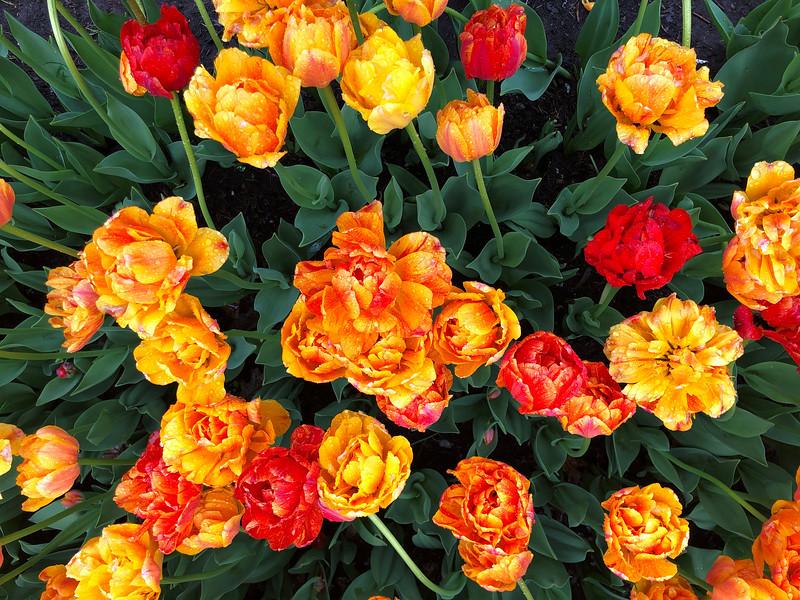 Albany Tulip Garden - Albany, NY<br /> iPhone Photo
