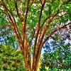 Perfect Shade Tree