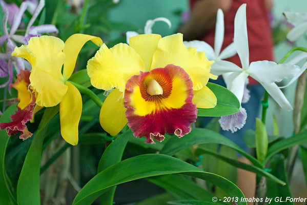 Orchid of Yellow & Red