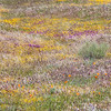 Patches Of Flowers - California Poppy Reserve