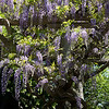 Wisteria At The Huntington Library - San Marino, CA