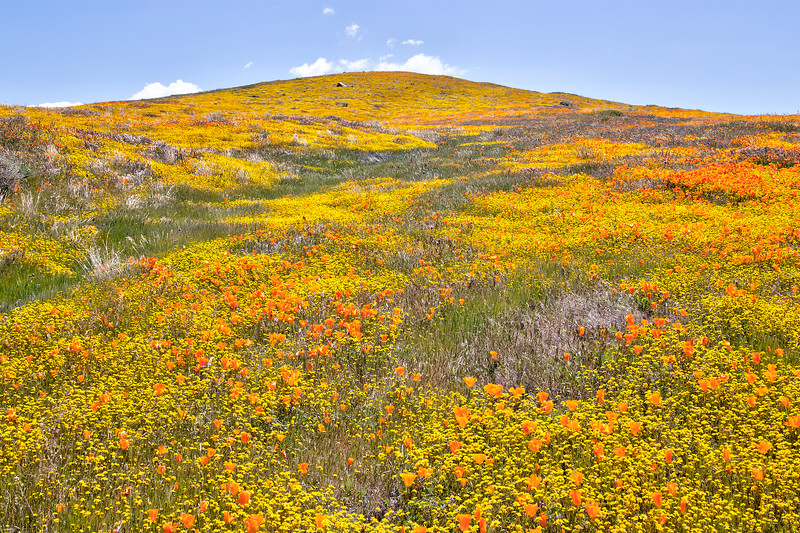 California Poppy Reserve - Golden Hill On The North Loop Trail