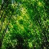 Bamboo Canopy - Huntington Library