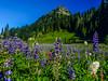 Wildflowers Naches Pass