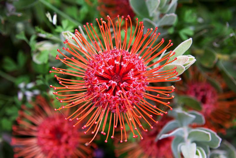 Orange And Red Pin Cushion - San Francisco Botanical Gardens
