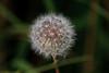 A little bit of Nature-Dandelion
