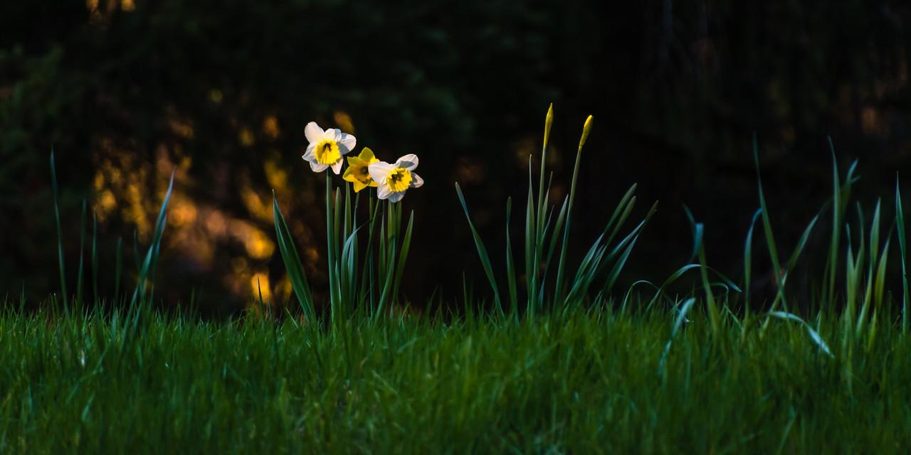 PreSpring Daffodils