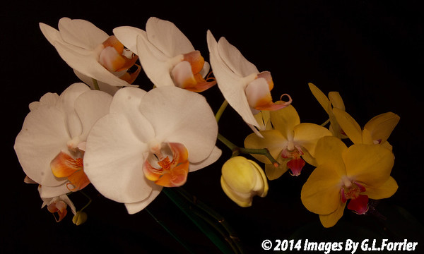 Orchids  Two-By-Two