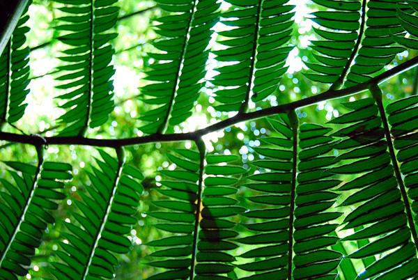 Palm Fern