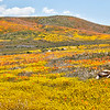 California Poppy Reserve = Patchwork Hill