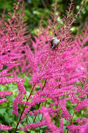 Snail On Fuchsia Stalks - San Francisco Botanical Gardens