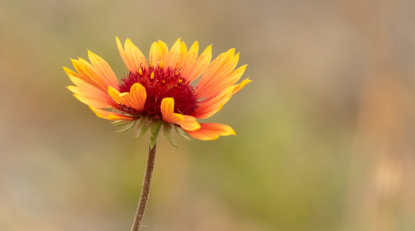 Wildflower of Colorado-Blanket Flower